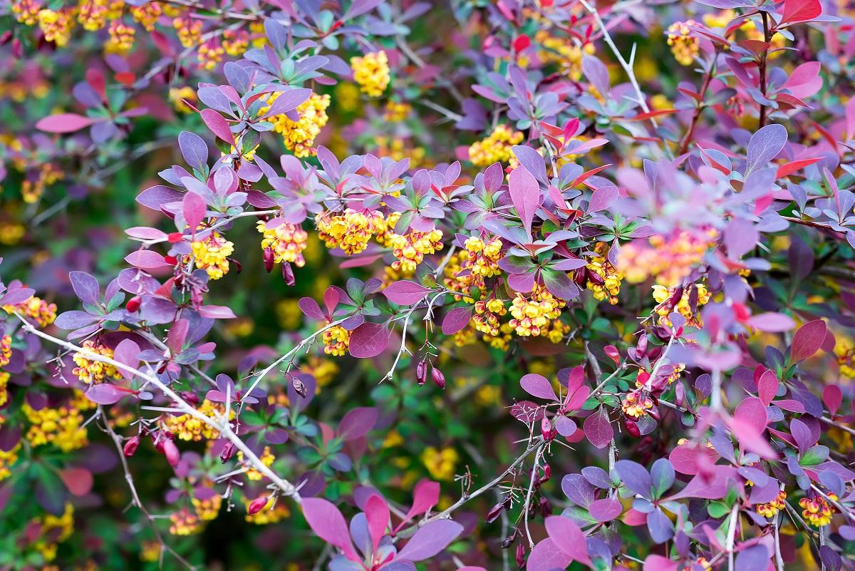 kwitnący berberys